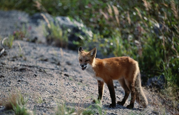 Stop me if you've heard this one; a fox walks into an acupuncturist…